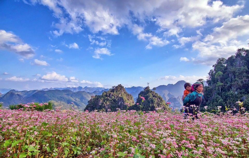 The buckwheat field in Ha Giang in the blooming season
