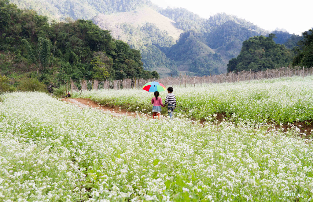 Moc Chau tourism in November watching white and blooming mustard flowers